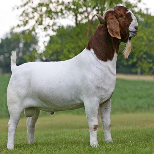 Naming Your Goat | PetHelpful